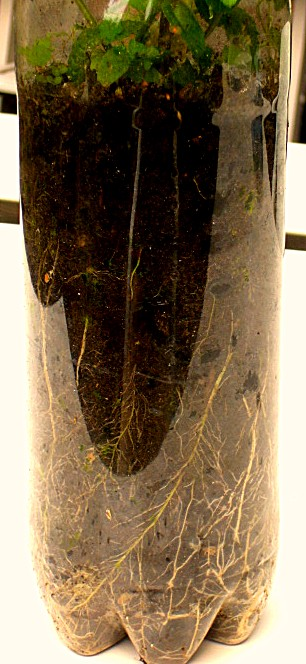 Mint roots in a transparent plastic bottle (Willem) | CONTAINER ...