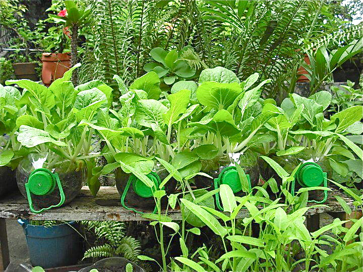 Successful food production in recycled containers jimmy pioquinto container gardening - Recycled containers for gardening ...