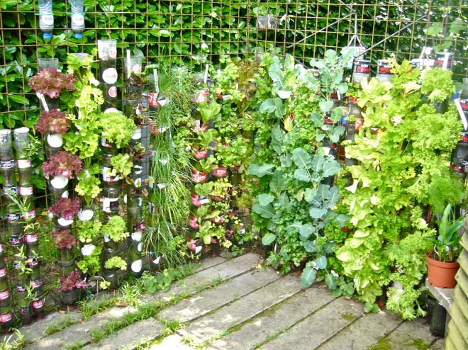 A few weeks later the bottle towers produce a mass of fresh vegetables and herbs (Photo WVC)