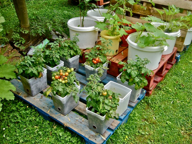 Pots and buckets on pallets to avoid contact with the soil (bugs, infections, ...).  Cherry tomatoes in pots. Zucchinis in buckets. (Photo WVC)