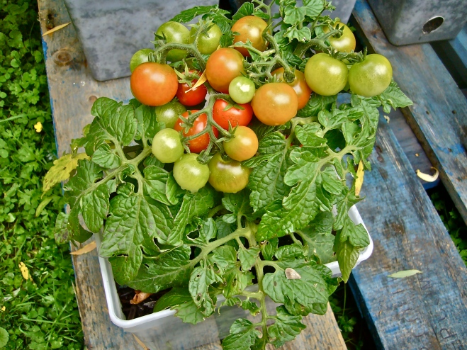 Cherry tomatoes in pots (Photo WVC)
