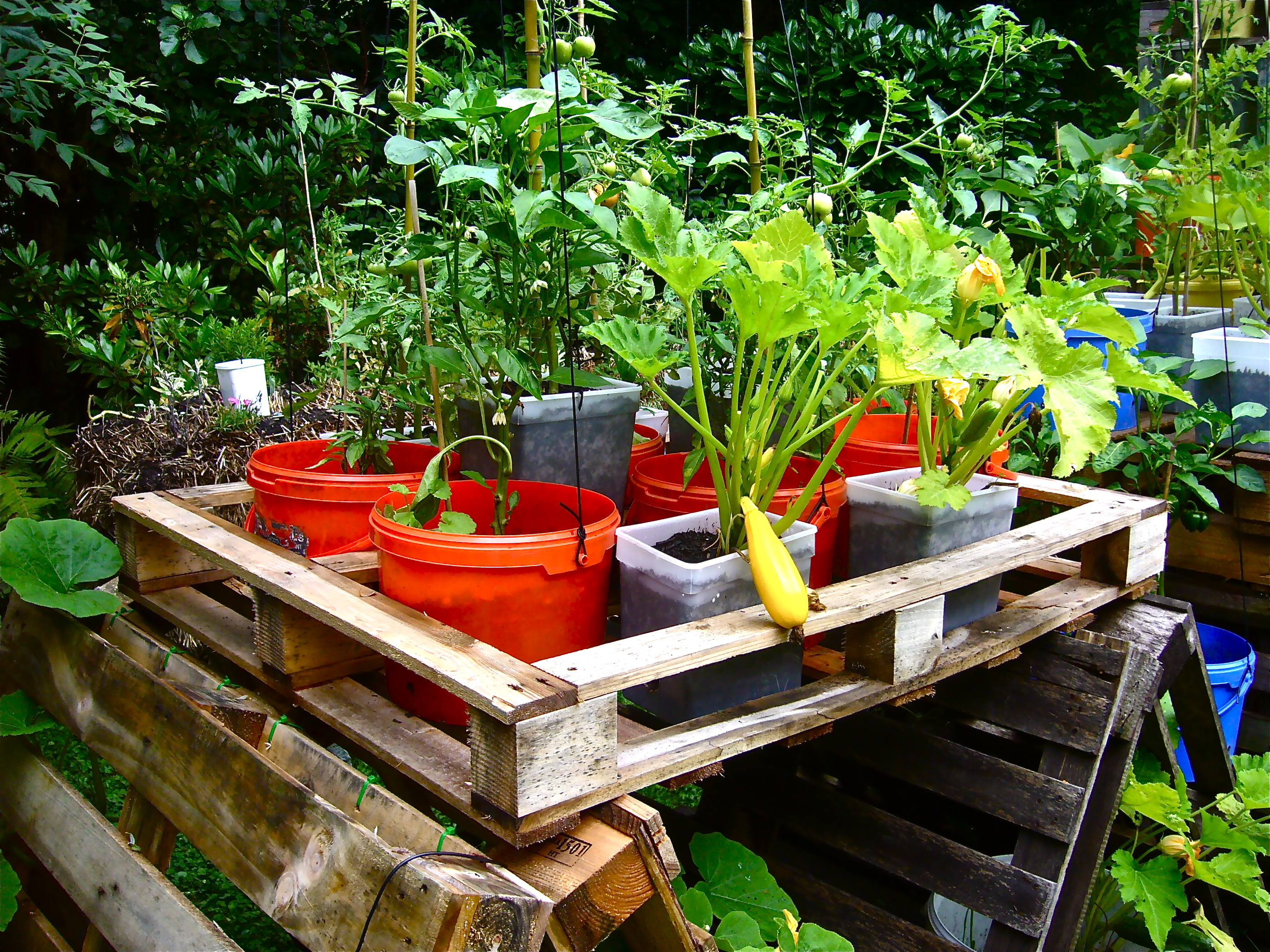 ... Tomatoes And Bell Peppers In Buckets And Pots (Photo WVC)