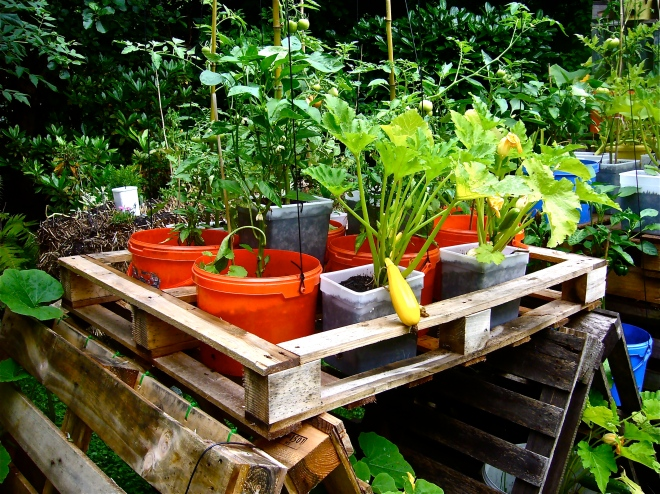 Zucchinis, tomatoes and bell peppers in buckets and pots (Photo WVC)