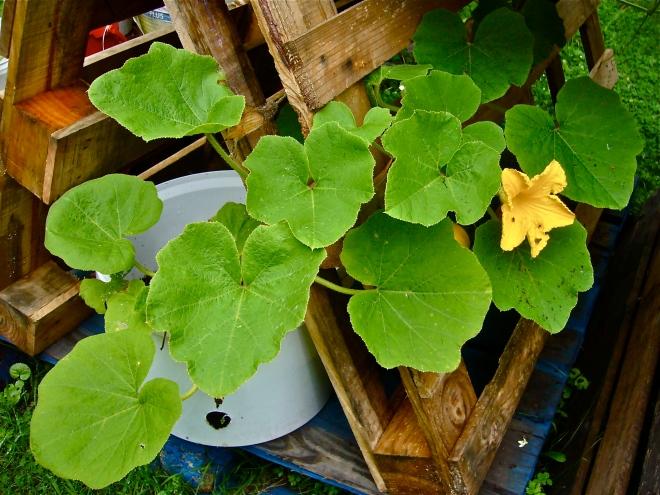 Flowering squash (Photo WVC)