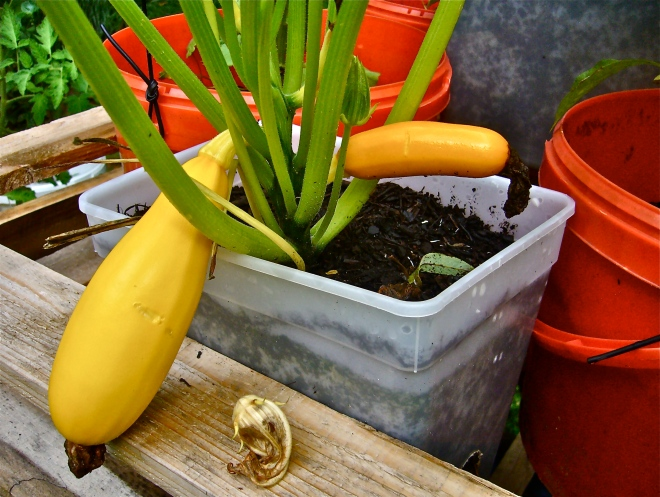 Zucchinis in icecream pot (Photo WVC)
