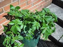 grow potatoes in a bag  grow potatoes in barrel  grow potatoes in a container  grow potatoes from seed  grow potatoes in bucket  grow potatoes at home  how to plant potatoes in a pots  how long to grow potatoes in a container  how to grow potatoes in a containers  how to grow potatoes in a container indoors  how deep to plant potatoes in a pot  how to plant potatoes in a pots  how to plant potatoes in a container