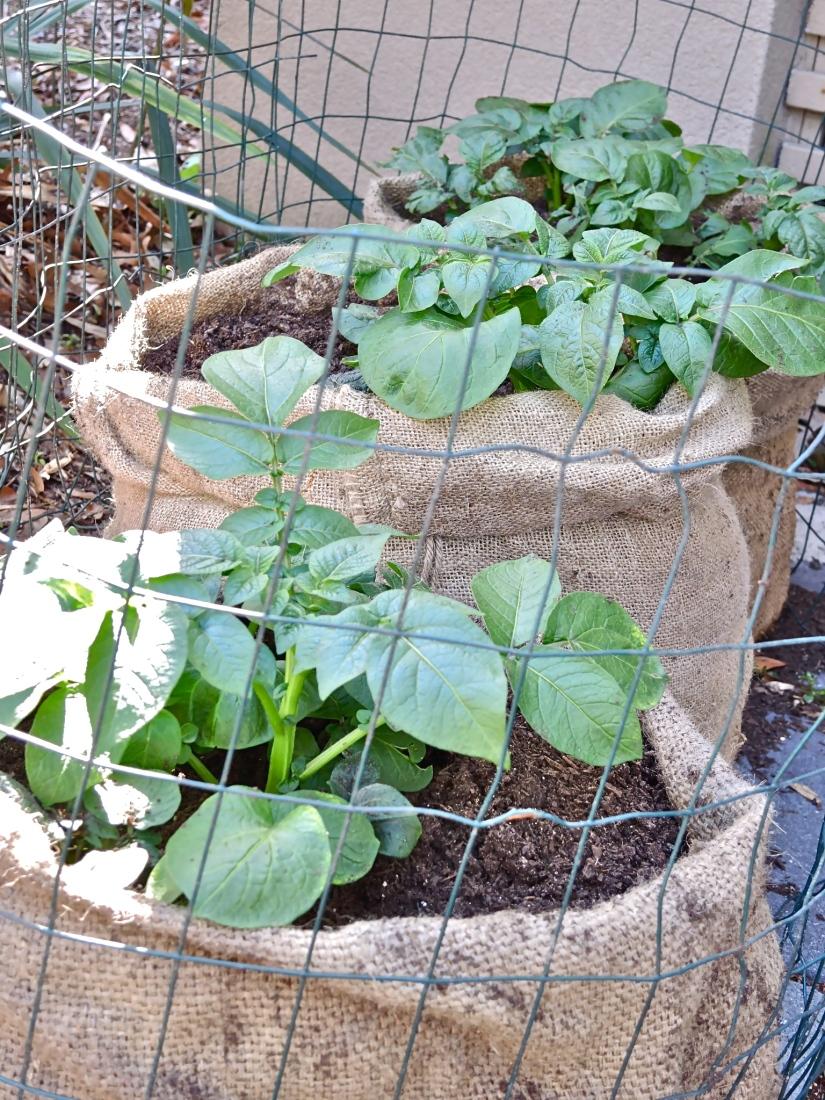 * Bags burlap - potatoes - Photo Access to the Garden - 883435_512045748858631_262799902_o.jpg