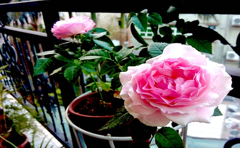 Photo credit: Margaret CHU - Roses on balcony (10918370_763800603711036_2005932432_o copy.jpg)