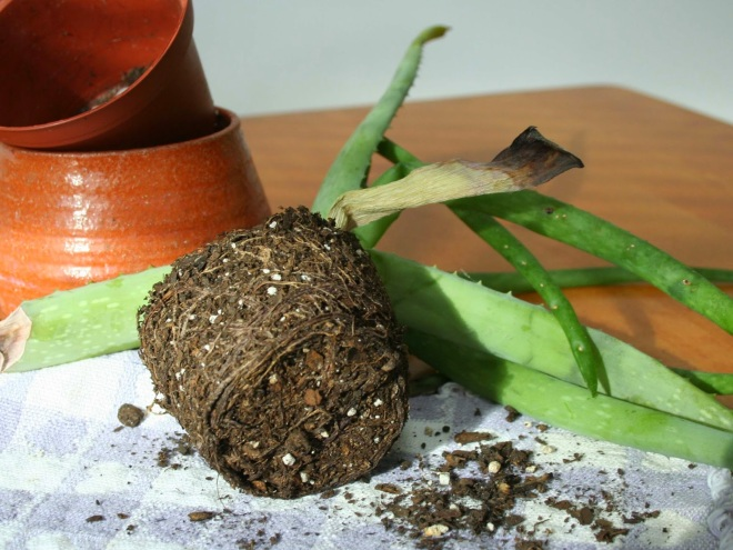 Aloe roots crop - http://4.bp.blogspot.com/-BhvAgFZ2Q4s/VMEdUMUBThI/AAAAAAAADU4/Yo2jVQRwhsw/s1600/aloe%2Broots%2Bcrop.jpg