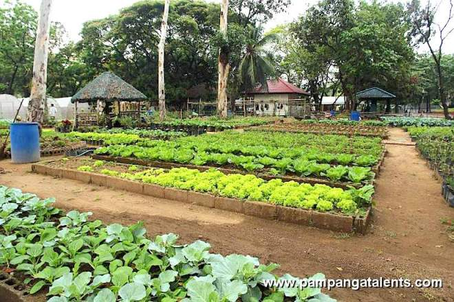 Organic lettuce garden in Quezon City Circle (Ph.): http://www.pampangatalents.com/04_Gallery/Philippines/Manila/Memorial-Circle/Urban-Farming/slides/Garden-Lettuce_Organic_Farming.JPG