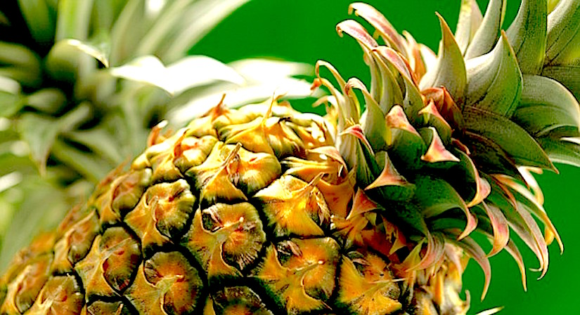 How to harvest your own pineapple ?