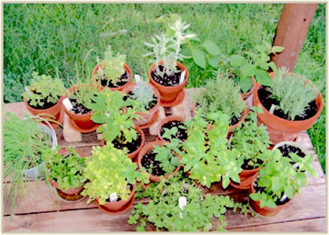 Herbs in pots - http://containergardeningpedia.com/wp-content/uploads/2015/02/Herb-container-gardening-300x214.jpg