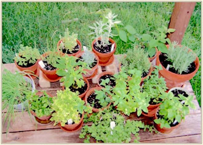 Herbs in pots - http://containergardeningpedia.com/wp-content/uploads/2015/02/Herb-container-gardening-300x214.jpg