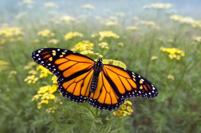 A monarch butterfly - http://images.nationalgeographic.com/wpf/media-live/photos/000/884/cache/monarch-butterflies-usa_88438_990x742.jpg