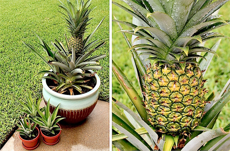 How to harvest your own pineapple container gardening for How to plant a pineapple top in a pot