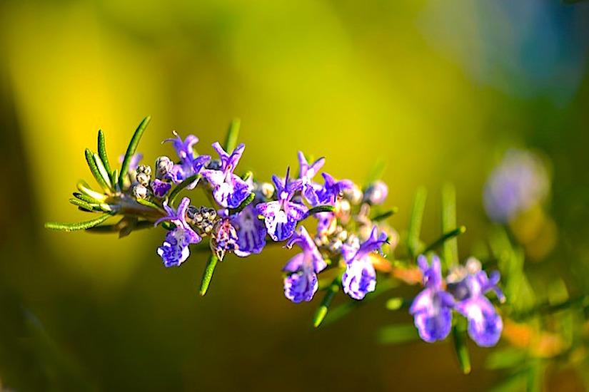 Herbs and pollinators