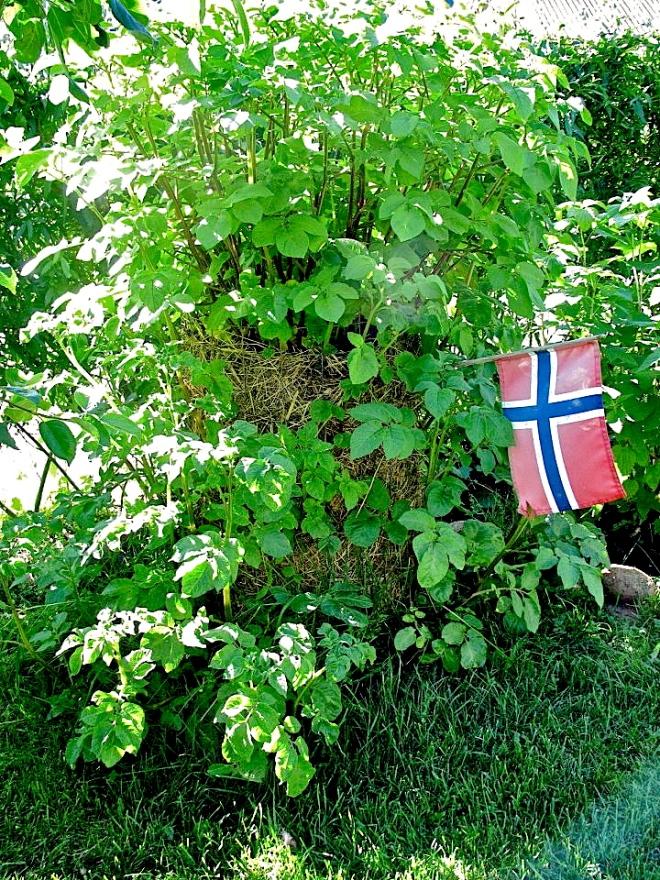 * Vertical potato tower - Photo Filip Ring Thenderup - 524197_155330084604427_1429767967_n copy.jpg