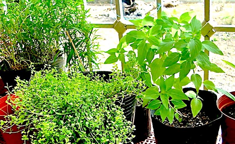* Pots Herbs Diana L. Ocampo 377837_2521364994713_1270973018_32092675_1283605323_n.jpg
