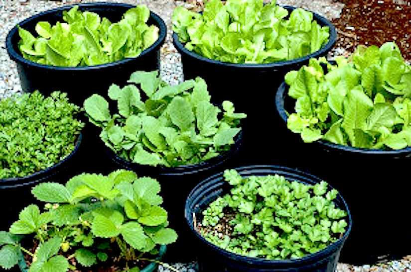 Growing ve ables in containers