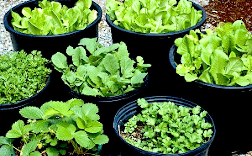Growing vegetables incontainers