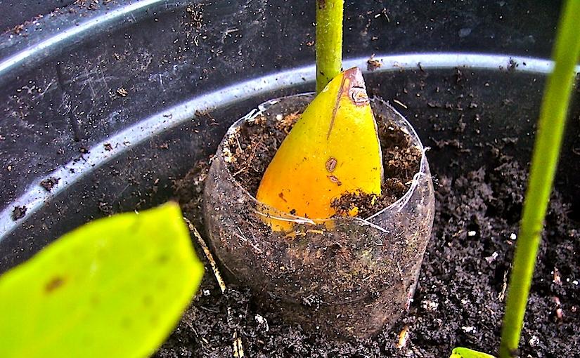 Improve survival rate when planting treesaplings