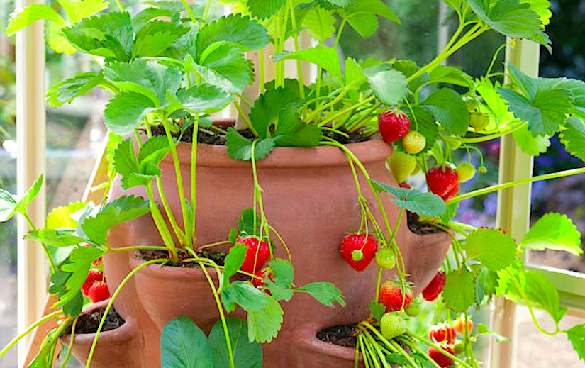 Containers full of strawberries
