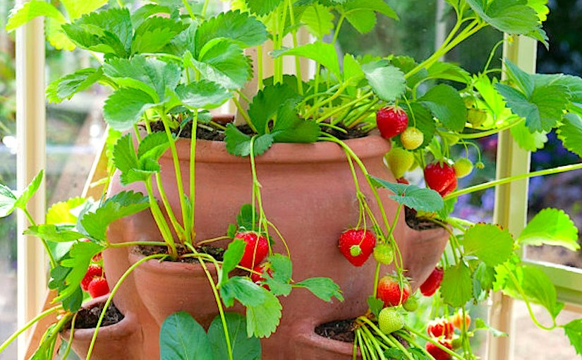 Containers full ofstrawberries