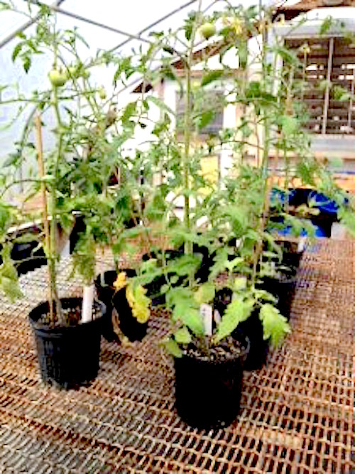 In a bucket - http://nwdistrict.ifas.ufl.edu/hort/files/2015/04/tomatoes-in-pots-eddie-powell-225x300.jpg