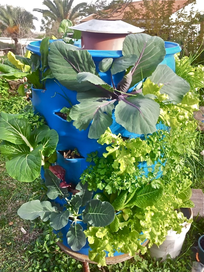 Barrels  cab easily be transformed in vertical gardens with a lot of fresh food - Photo Grow Food, Not Lawns - 542232_449799711742313_474788682_n.jpg