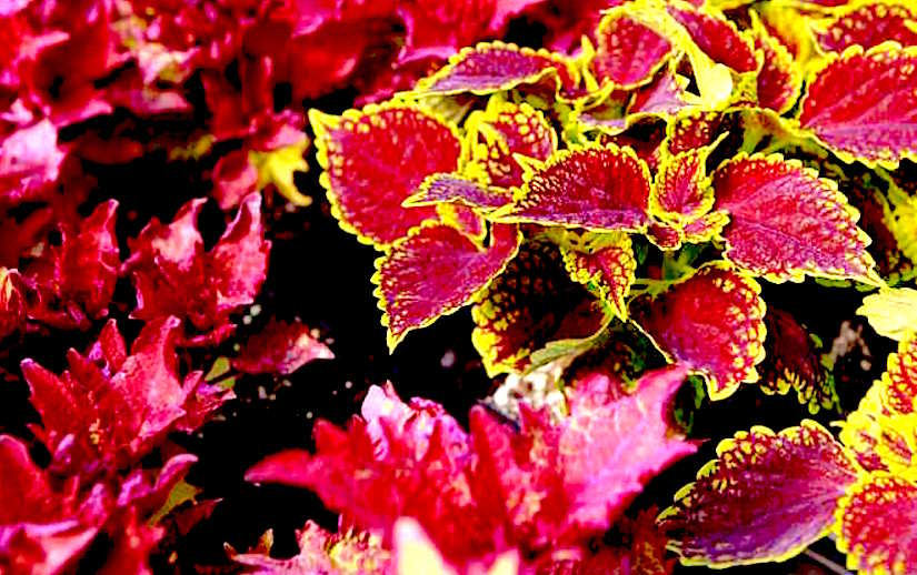 http://wpmedia.montrealgazette.com/2015/04/montreal-que-april-14-2015-coleus-is-a-plant-that-ca.jpg?quality=55&strip=all&w=660&h=495&crop=1