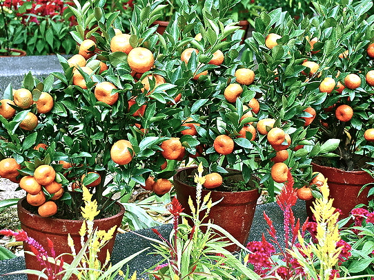 Dwarf orange fruit trees grown in pots - Photo Container Growing - .jpg
