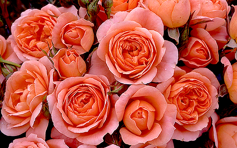 Patio Roses In Containers