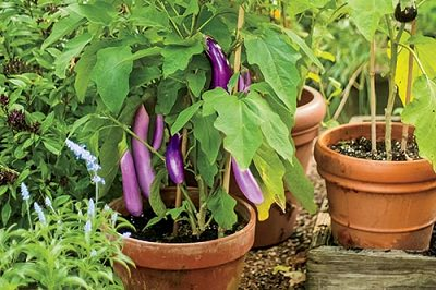 http://cdn.balconygardenweb.com/wp-content/uploads/2015/09/terrace-vegetable-garden-2_mini.jpg