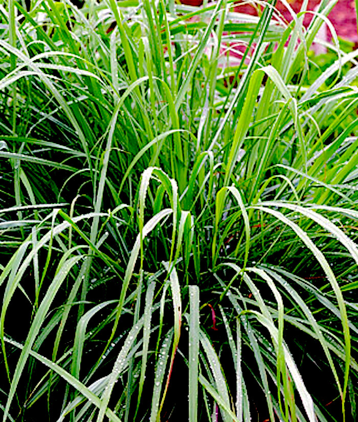 How to grow lemongrass from seeds container gardening for How to get lemon seeds to grow