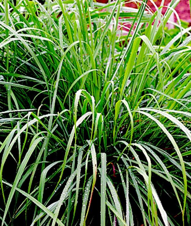 http://balconygardenweb.com/wp-content/uploads/2015/11/lemongrass.jpg
