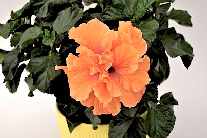 http://3hwc5u2yh4y53tqbviyij1bq.wpengine.netdna-cdn.com/wp-content/uploads/2016/01/Hibiscus-H2-Bali-Sunrise-Aris-Keepsake-Plants-860x576.jpg