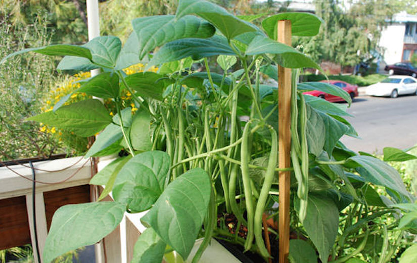 http://balconygardenweb.com/wp-content/uploads/2016/03/growing-beans-on-balcony.jpg