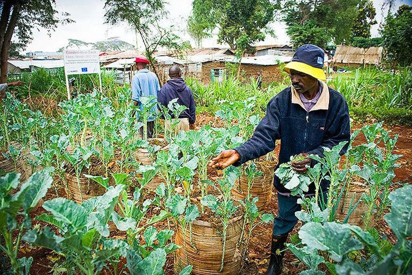 Residents of the Kibera slum in Kenya tend to vegetables planted in sack gardens. (Photo: Tony Karumba/Getty Images)