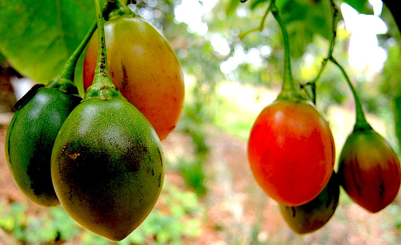 http://gardendrum.com/wp-content/uploads/2016/06/Ripening-tamarillos-on-my-tree.jpg