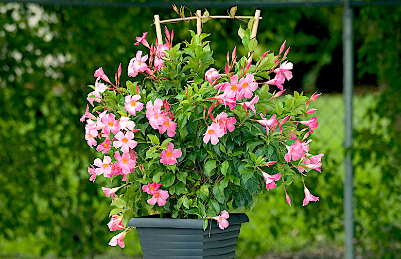 Caring for mandevilla, bougainvillea