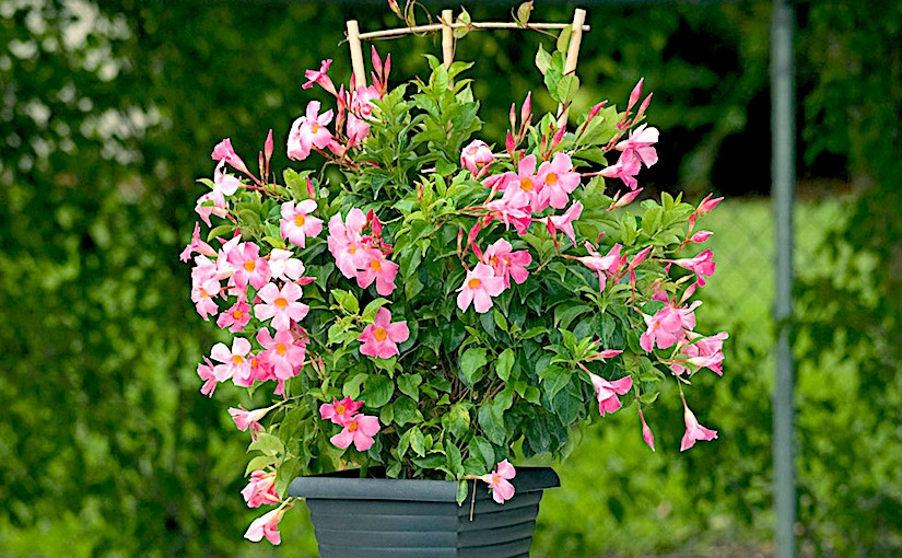 Caring For Mandevilla Bougainvillea Container Gardening