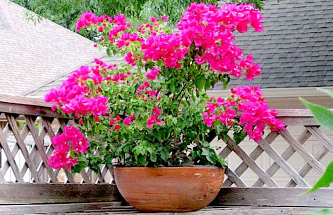bougainvillea-on-fence