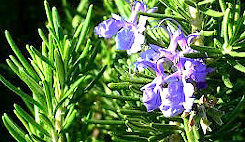 Rosemary as a lucky plant